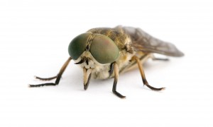 HORSE FLY CLOSEUP