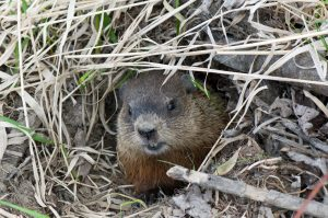 Muskrat peering out of his den