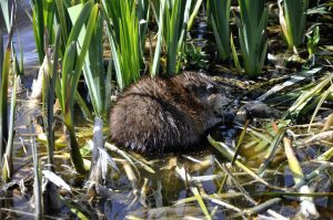 Muskrat eating fish