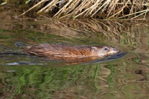 Muskrat swimming in pond