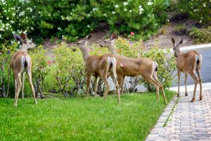 Whitedeer eating roses in suburban garden