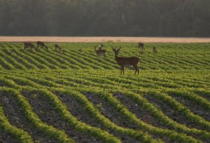 Whitetail deer eating soybean crop