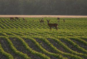 Whitetail deer eating soybean crop