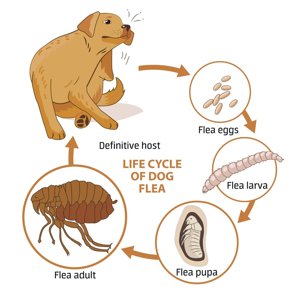 Flea Control And Treatments For The Home Yard And Garden