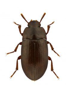 Alphitobius Diaperinus Litter Beetle