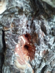 Zimmerman moth holes in tree