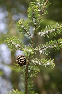 HEMLOCK INFESTED WITH WOOLLY ADELGIDS