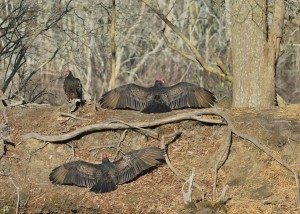 VULTURES ON GROUND