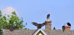 VULTURES ON ROOF