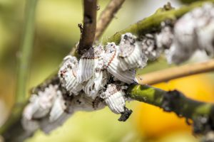 Mealybug closeup on citrus tree