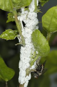 Mealybug infestation on hibiscus