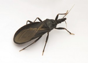 CHAGAS BUG AKA: KISSING BUG