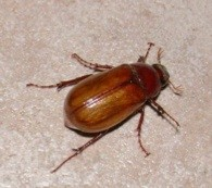 Brown June Bug