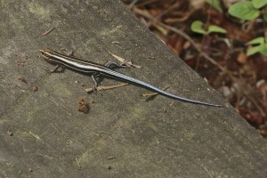 Blue Tailed Skinks In Garage Pest Control Chemicals 800