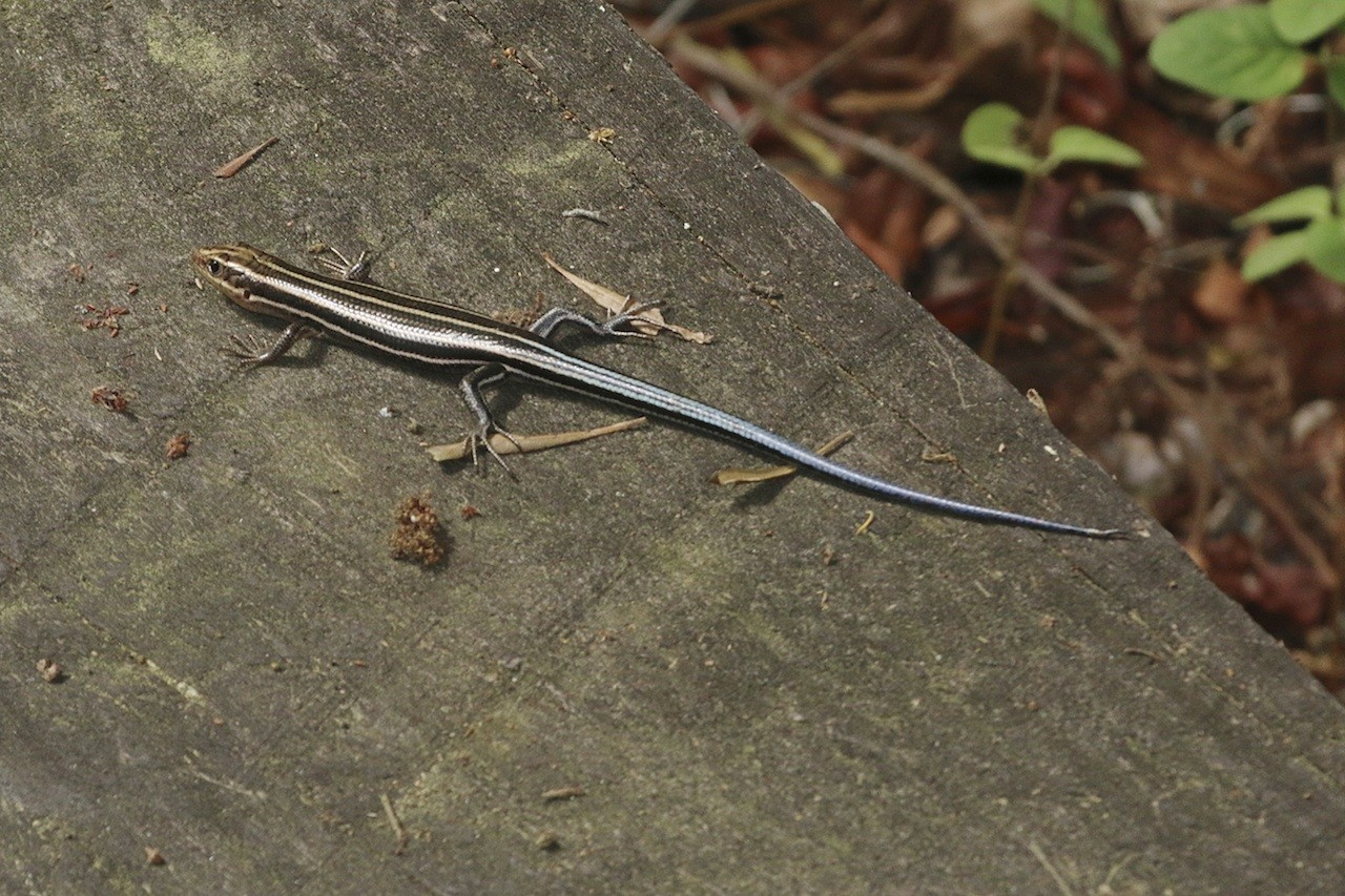 Blue Tailed Skink - YouTube  |Blue Tail Lizard