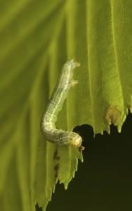 Operophtera brumata larvae