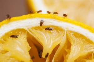 FRUIT FLIES ON ORANGE
