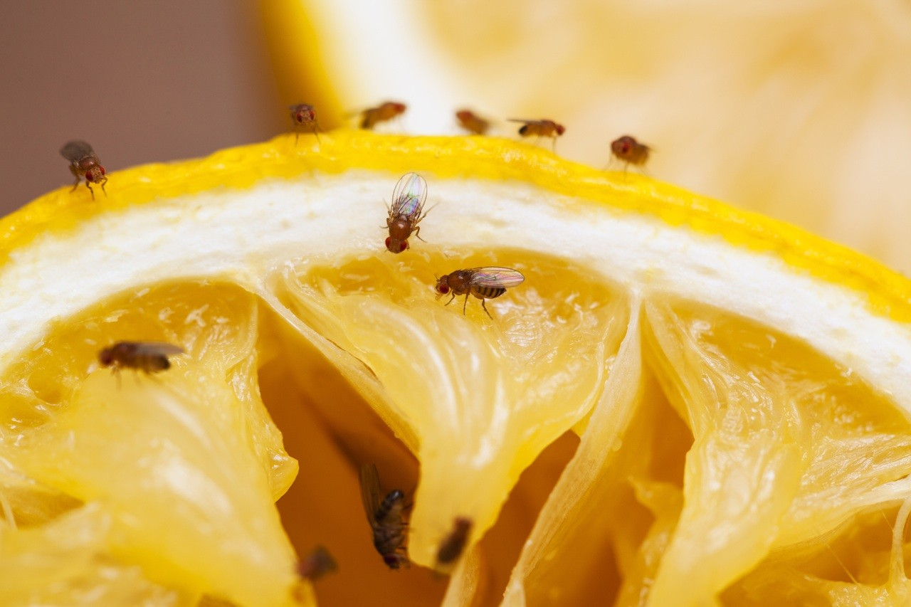 how to control and treat fruit flies pest control chemicals 800