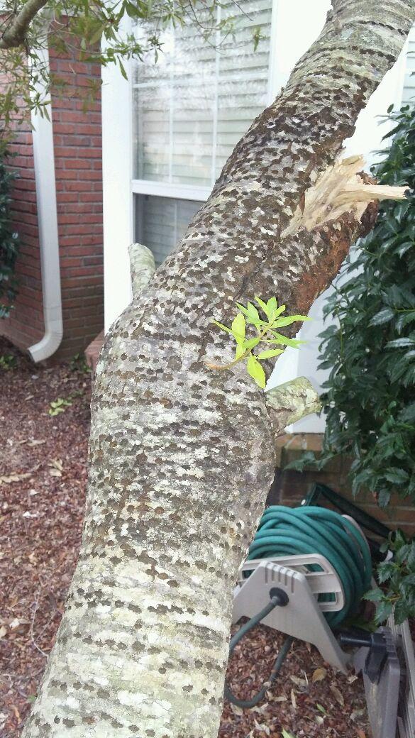 Woodpecker Killing My Tree Pest Control Chemicals 800