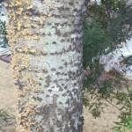 Woodpecker tree damage