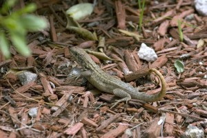 CURLY TAIL LIZARD IN MULCH