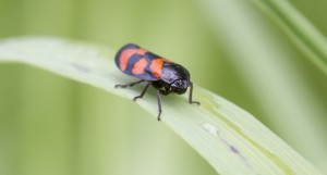FROGHOPPER ON GRASS