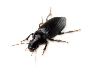 Ground beetle (Tachyta nana)