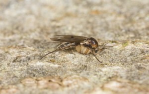 Fungus gnat, Mycetophilidae fly on wood