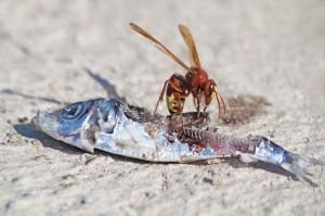 WASP FEEDING ON FISH