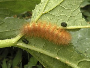 The caterpillar of the Virginia Tiger Moth or the Yellow Woollybear Caterpillar is pictured here. The Woollybear is feasting on a prickly squash leaf.