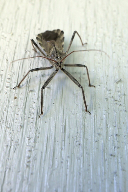 Assassin Bug Control And Treatments For The Home Yard And