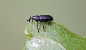 MONKEY WEEVIL