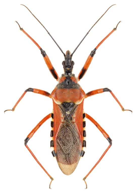 Assassin bug control and treatments for the home yard and garden
