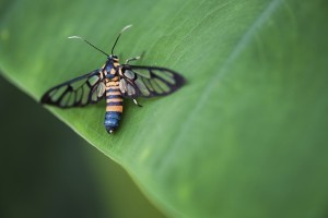 A close-up look of a tiger grass borer moth (wasp moth) on a leaf