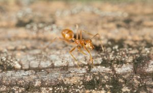 Tawny crazy ant walking