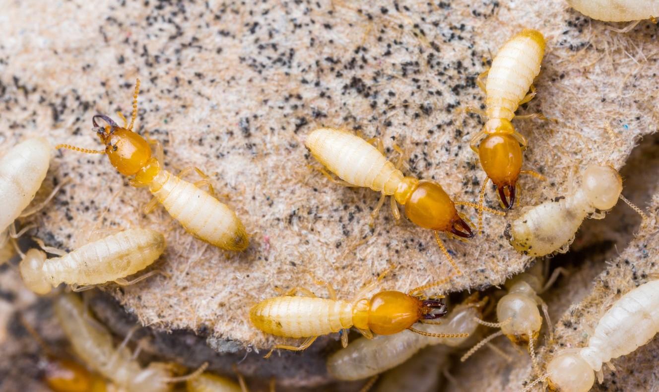 Drywood Termite Control Pest Control Chemicals 800 877 7290