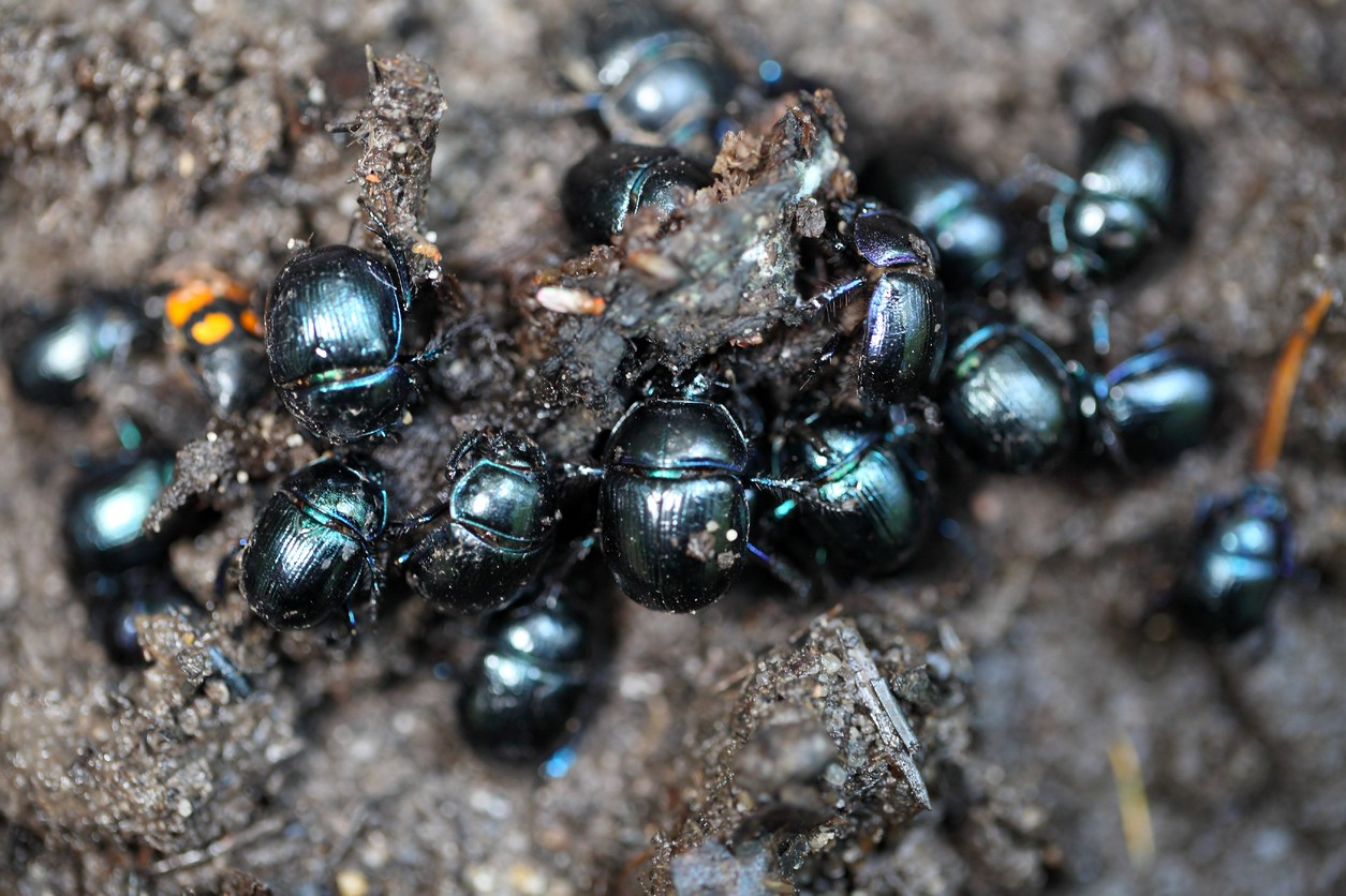 dung beetle control and treatments for the yard and home