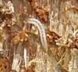 Ips Beetle Larvae