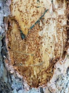 Ips beetle damage to tree bark