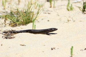 King's Skink moving across a Beach in Western Australia