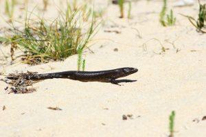 King's Skink moving across a Beach in Western Australia
