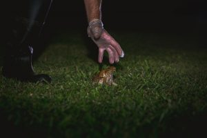 How to safely remove cane toads
