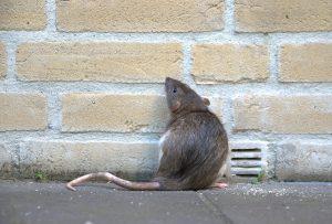 Rat on scent trail.