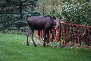 Moose eating my garden