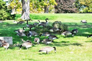 Canada geese problem in yard