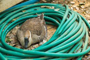 Canada goose nest in my garden