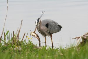 Great Blue Heron eating my fish