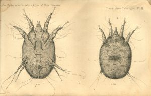 Male and female scab mites which cause skin scabs on animals like sheep.