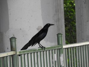 Grackle on my deck porch making a mess
