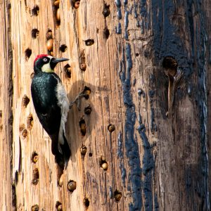Acorn woodpecker on telephone pole